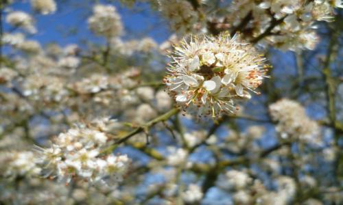 Farlington blackthorn blossom