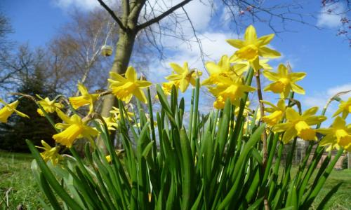 Farlington daffodils